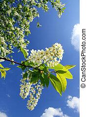 цвести, вишня, дерево, птица, филиал