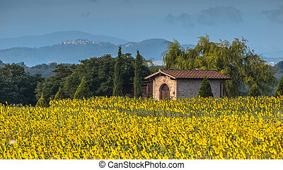 цветок, италия, солнце, тоскана, поле, пейзаж