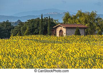 цветок, тоскана, солнце, поле, пейзаж, италия