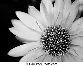 цветок, black-and-white