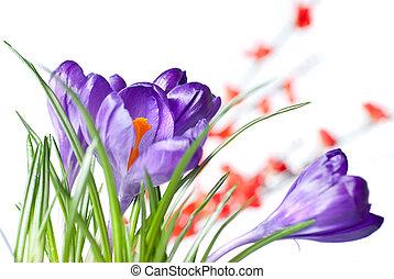 цветы, крокус, красный, размытый