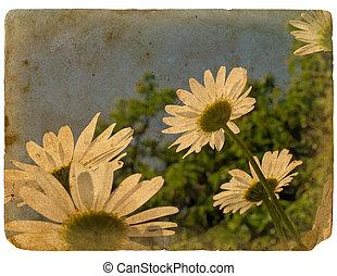 цветы, старый, postcard., blooming, chamomile.