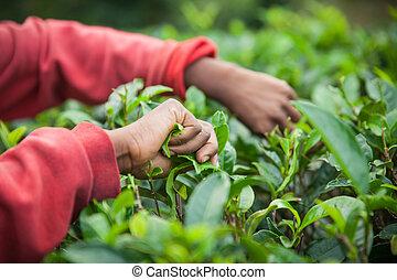 чай, picking