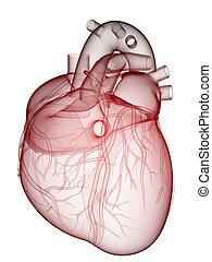человек, сердце