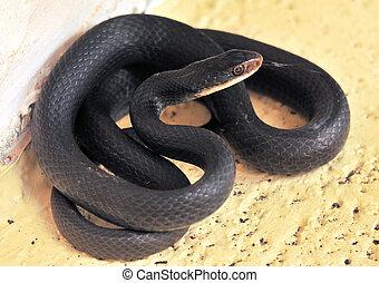 черный, змея