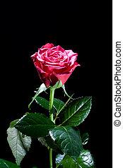 черный, красный, роза, красивая