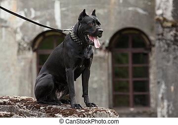 черный, собака