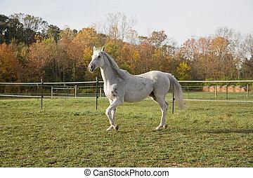 чистокровный, лошадь