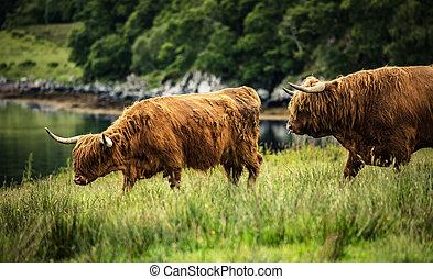 шотландский, внутренний, ходить, крупный рогатый скот, нагорье, nature.