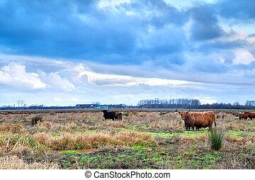 шотландский, выгон, горная местность, крупный рогатый скот
