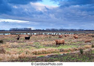 шотландский, луга, крупный рогатый скот