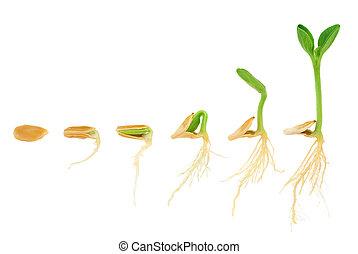 эволюция, концепция, последовательность, isolated, растение, выращивание, тыква