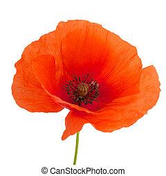 яркий, isolated, белый, мак, красный, цветок