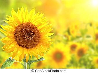 яркий, sunflowers, желтый