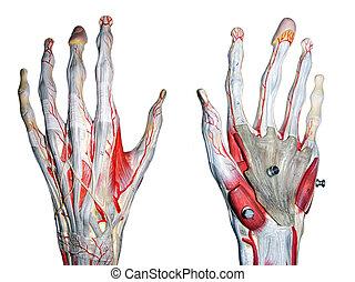 2, руки