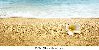 alba, plumeria, пляж, frangipani), сэнди, (white