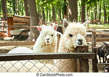 alpacas, два, (vicugna, pacos)