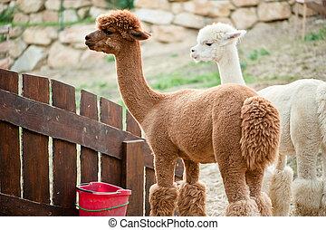 alpacas, сад