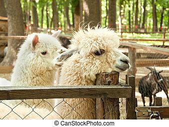 alpacas, pacos), (vicugna