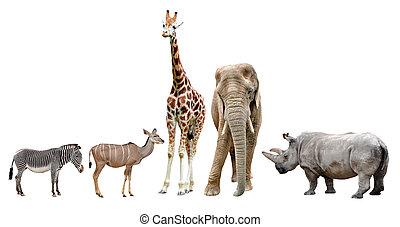 animals, африканец