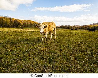 autumn.cattle, выгон, сельское хозяйство, field., домашний скот, bulls