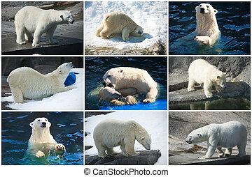 bears, полярный