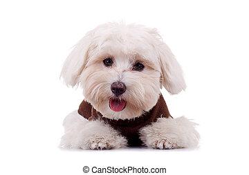 bichon, щенок, одежда