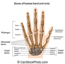bones, рука, eps8
