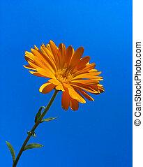 calendula, синий, небо, против, задний план