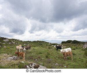 calves, керри, полуостров, ирландия, cows