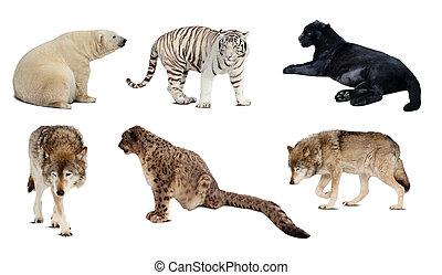 carnivora, над, isolated, задавать, mammal., белый