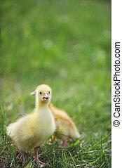 chicks, пушистый, два