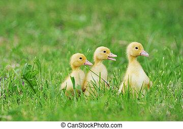 chicks, пушистый, три