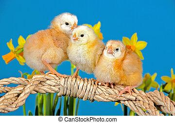 chicks, три