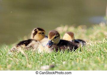 chicks, три, утка