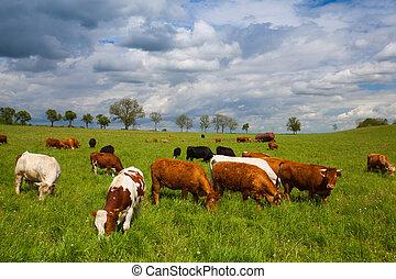 cows, весна, луг, пасти