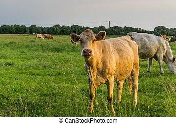 cows, выгон, -, восход, крупный рогатый скот