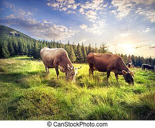 cows, выгон, гора