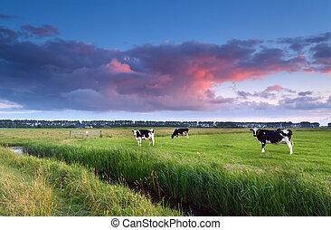 cows, выгон, закат солнца