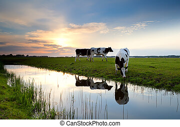 cows, выгон, закат солнца, grazing