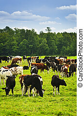 cows, выгон