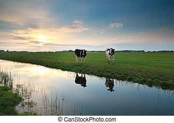 cows, выгон, река, закат солнца