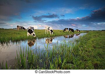 cows, выгон, река, grazing