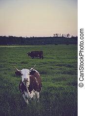cows, выгон, финляндия, закат солнца