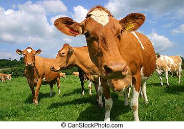 cows, джерси
