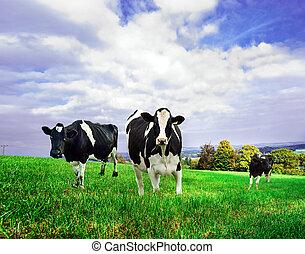 cows, зеленый, friesian, молочные продукты, pasture.