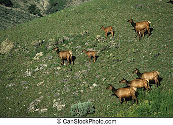 cows, лось, calves