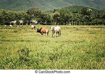cows, марочный, стиль, земельные участки, выгон