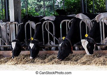cows, молочные продукты, farm.