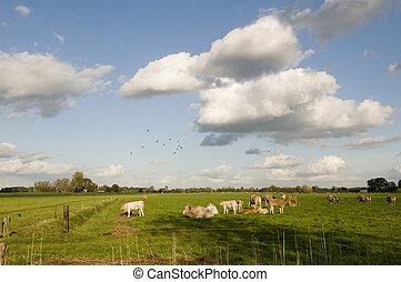 cows, пейзаж, голландский